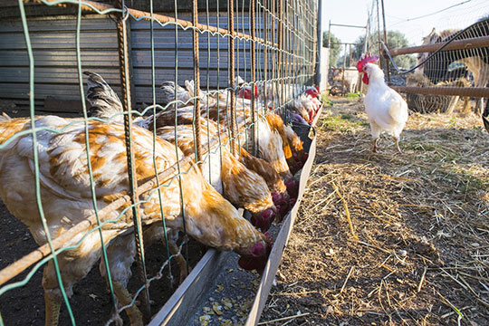 chickens eating fermented chicken feed